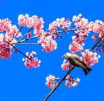 bulbul de cabeça branca e sakura