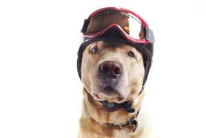 Dog and helmet
