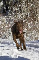 Chocolate lab running in snow