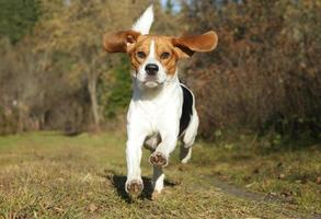 Beagle corriendo en el parque otoño