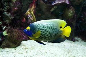 Yellow faced angelfish swimming