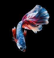 siam fighting fish are swimming photo