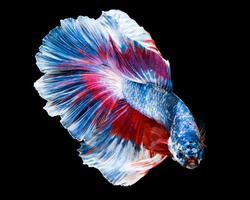 macro beautiful siam fighting fish are swimming photo