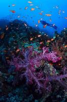 Scuba Divers swim over coral reef photo