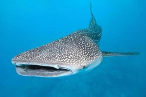 Swimming whale shark graphic with blue background
