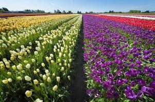 Springtime Tulip Fields photo