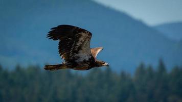 juvenil águila calva en vuelo foto