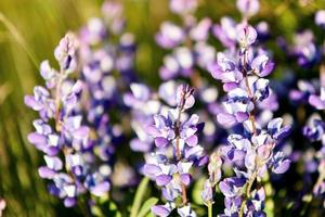 Lupine Meadow photo