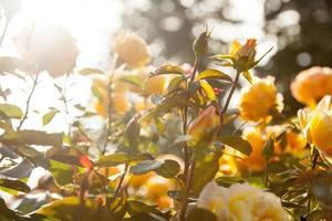 Rose VII