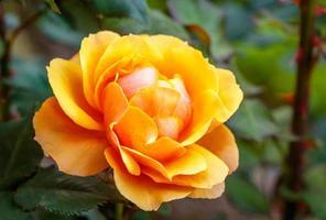 rosa perfumada em plena floração