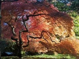 Japanese Garden Fall Colors Maple Tree Portland Oregon