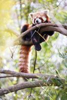 Panda rojo foto