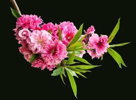 flores de durazno en el fondo negro foto