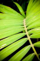 close up of betel palm leaves