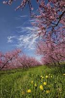 melocotoneros en flor. foto