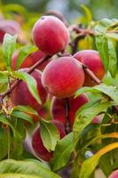 Organic peaches growing among green leaves