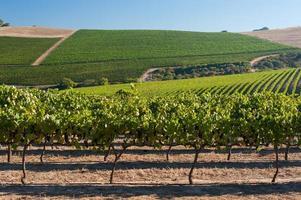 Weinberglandschaft mit Trauben auf Reben im Sommer, Südafrika
