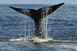 Whale tail slapping, Hermanus, South Africa
