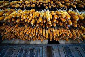 Dried corns is hanged on the roof photo