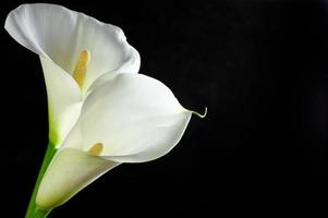 Calla lilies photo
