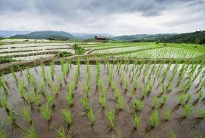 campo de arroz em terraços verdes