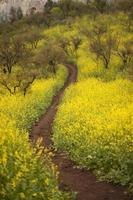 way through wild yellow spring flowers, Solidago