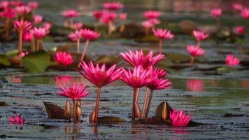 Group of Water Lily growing up together