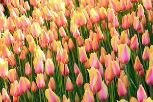 tulipán foto