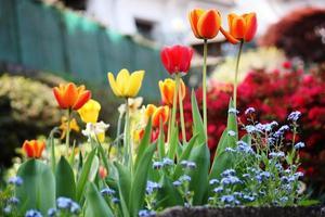 tulipanes, narissen, forgetmenots, azaleas spring garden en el lago maggiore, primer plano