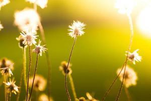Puesta de sol / hierba flor con fondo puesta de sol.