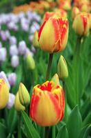 tulipanes rojos - amarillos