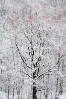black oak tree in white snow forest in winter