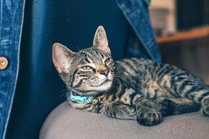 gato tigrado com gola em uma cadeira, olhando para cima