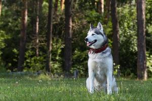 Siberian Husky sits in the shade.