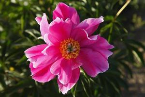 Blooming peony flowers
