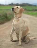 Female Labrador Dog