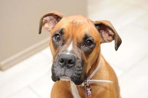 Female boxer dog looking