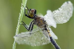 Female Blue Dasher Dragonfly closeup