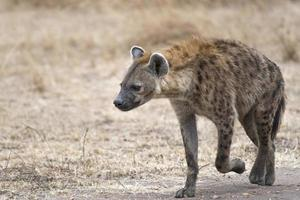 female hyena walking along farm road