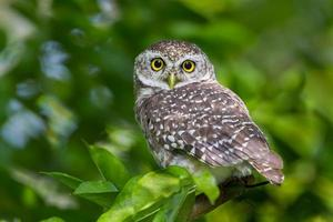 Close up of Spotted owlet(Athene brama)