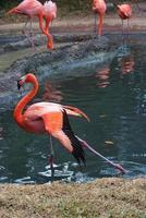 Pink flamingo photo