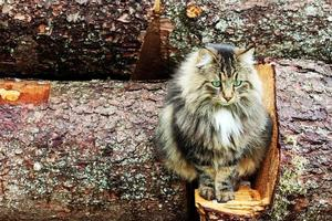 young pretty Norwegian Forest Cat