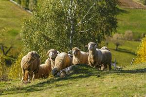 Beautiful autumn foliage and flock of sheep in the mountains photo