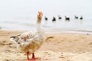 Bird: Goose and ducks waterside