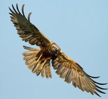 Marsh Harrier flying with wide wingspan in blue sky