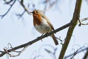 Robin redbreast Erithacus rubecula perched on branch in spring