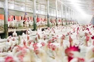 rancho de pollos foto