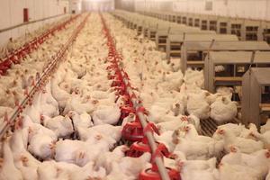 aves de corral, granja de pollos foto