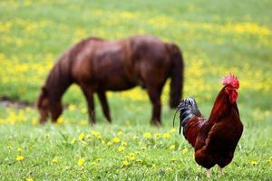 Rooster and the horse photo