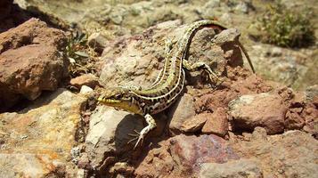 lagarto en las rocas foto